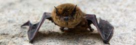 Dans la famille biodiversité ordinaire, protégeons la pipistrelle !