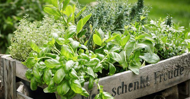 Comment couper les herbes aromatiques pour qu'elles repoussent?