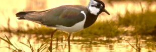 Chasse traditionnelle d'oiseaux : certaines pratiques désormais interdites