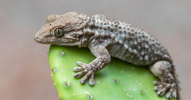 Geckolocalisation: aidez au repérage des lézards à pattes ventouses