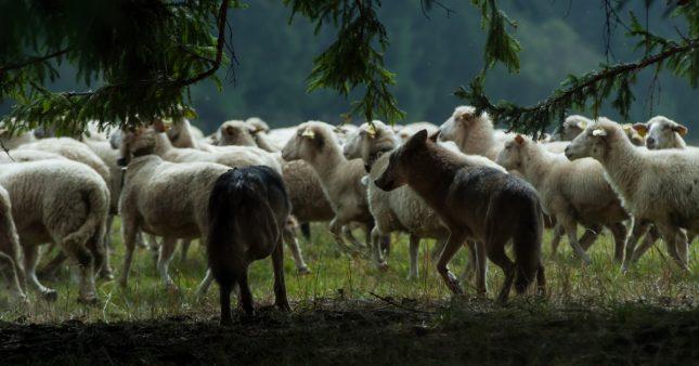 Cohabitation loup/berger: le modèle de l'Espagne est-il possible en France?