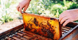 Récolte de miel : 2021, la pire année de l'apiculture française