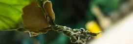 Jardinage: halte au mildiou dans le potager