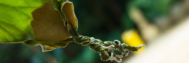 Jardinage : halte au mildiou dans le potager