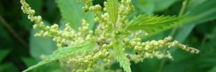 Purin d'ortie : recette naturelle contre les pucerons