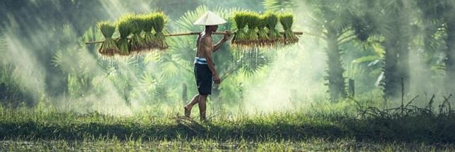 Le riz, un aliment universel