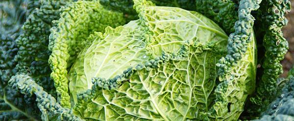 potager en carrés, chou-vert-savoie-legume-vert-alimentation-01
