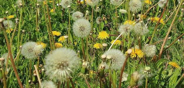 allergie-au-pollen-symptomes-solutions-naturelles-plante-02