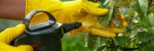 Jardiner malin avec un anti-pucerons naturel à l'ail