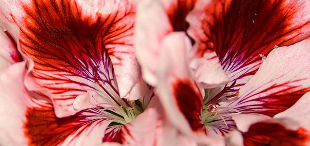 geranium-odorant-pelargonium-contre-les-moustiques-01