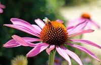 renforcer système immunitaire plantes, échinacee