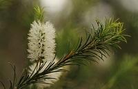 renforcer système immunitaire plantes arbre à thé
