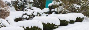 Les arbustes à feuillage persistant pour embellir mon jardin en hiver