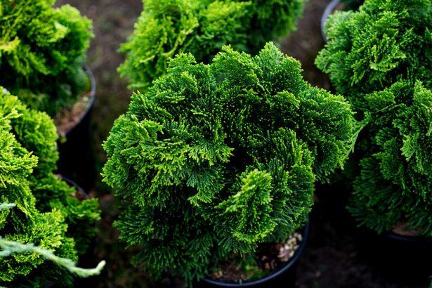 arbustes à feuillage persistant