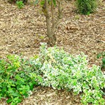Réalisez un paillis naturel pour un beau jardin