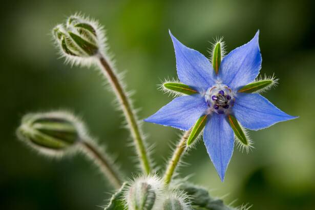 fleur comestible; bourrache