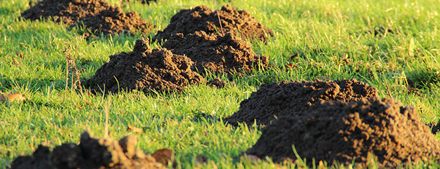 7 astuces naturelles pour chasser les taupes for Taupe dans le jardin