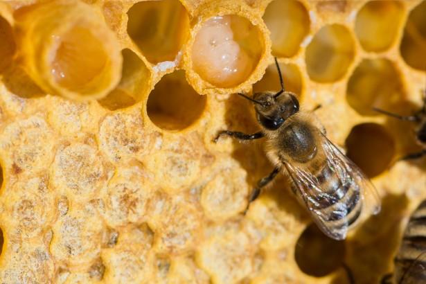 gelée royale, abeille, produit de la ruche