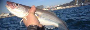 Le merlan, ce poisson que l'on peut acheter