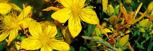 millepertuis plantes d'intérieur jardiner juin