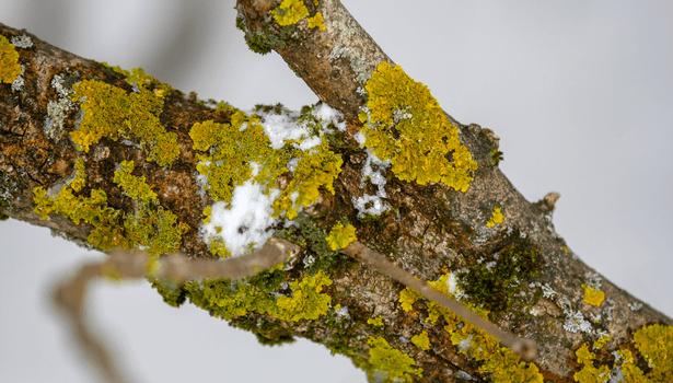 mousses et lichens branches