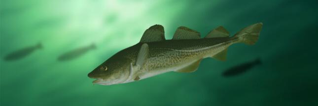 Guide des poissons - Cabillaud - morue, un poisson à éviter