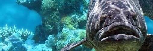 Cabillaud - morue, un poisson à éviter