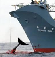 chasse baleines