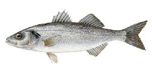 guide-d-achat-poisson-bar