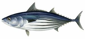 guide-d-achat-poisson-bonite