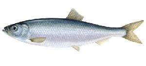 guide-d-achat-poisson-hareng