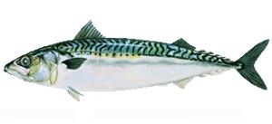 guide-d-achat-poisson-maquereau