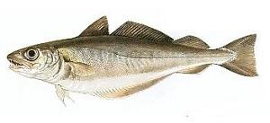 guide-d-achat-poisson-merlan