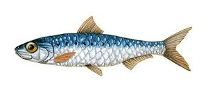 guide-d-achat-poisson-sardine