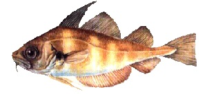 guide-d-achat-poisson-tacaud