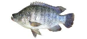 guide-d-achat-poisson-tilapia
