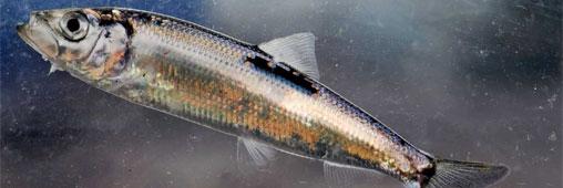 Un poisson qu 39 on peut acheter le lieu noir for Acheter poisson