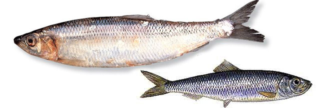 Le hareng poisson a acheter for Poisson a acheter