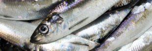 Le hareng, un poisson qu'on peut acheter sans le menacer