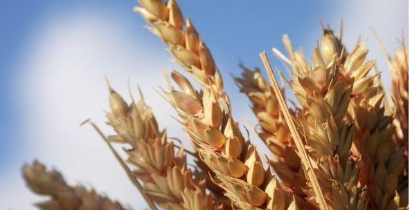 blé-céréales-aliment-bonne-santé-vivre-longtemps