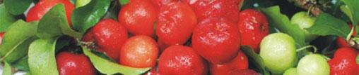 L'acérola : vitamine C et vitalité au naturel
