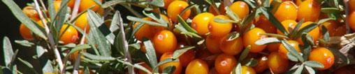 Les baies d'argousier, un superfruit sur le retour