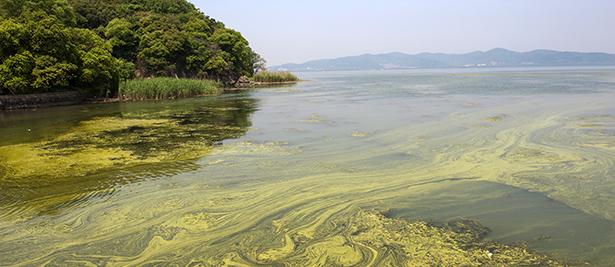 forme microalgue algue klamath