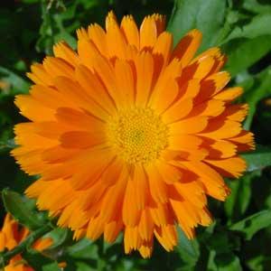 La flore Souci-fleur