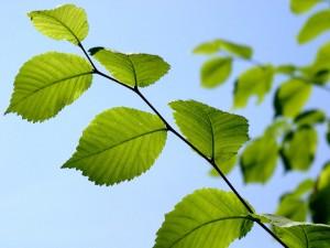 feuille arbre