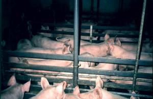 Production de porcs