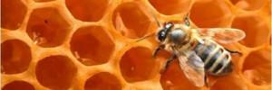 abeille-miel-1-300x100.jpg