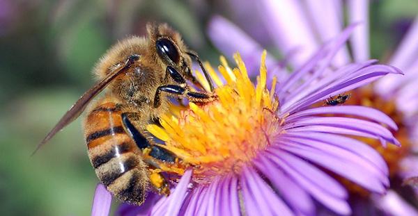 Aider les abeilles
