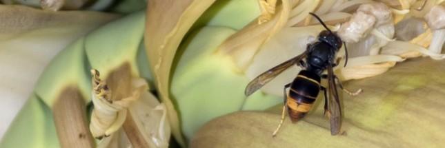 Le frelon asiatique, le prédateur de nos abeilles