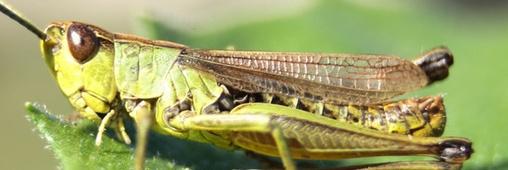 Les insectes qui seront bientôt dans vos assiettes